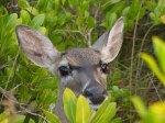 key-deer-in-red-mangroves